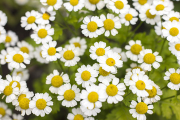 Chamomile. Flowering daisies on a meadow in the summer. Bloom.