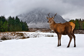 A stag stops briefly in Glencoe, Scotland with Buachaille Etive Mor in the background.