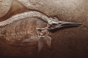 Ichthyosaurus fossil skeleton is a genus of extinct marine reptiles of the early Jurassic period