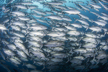 A school of Jack fishes on the move
