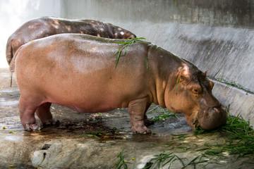 hippopotamus eating grass.