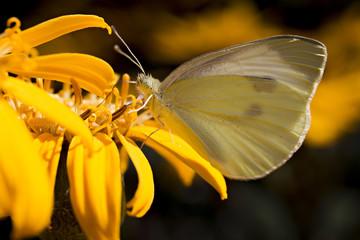 Cabbage white, butterfly on orange flower.