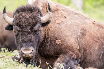 Close up head shot of Buffalo