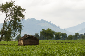 Farmhouse and vegetable and corn fields. Guatemala