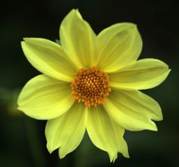 nature detail - yellow dalia flower