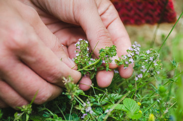 Woman's hands picking thyme plant