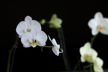 White orchids on black background, isolated. Copyspace. Minimal composition photography.