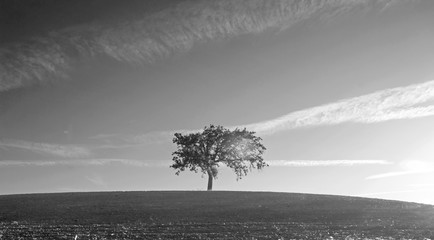 California Valley Oak Tree in plowed fields under clear blue skies in Paso Robles wine country in Central California United States - black and white