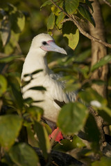 Red-footed Booby (Sula sula) white phase. Halfmoon Caye Audubon Sanctuary, Belize.