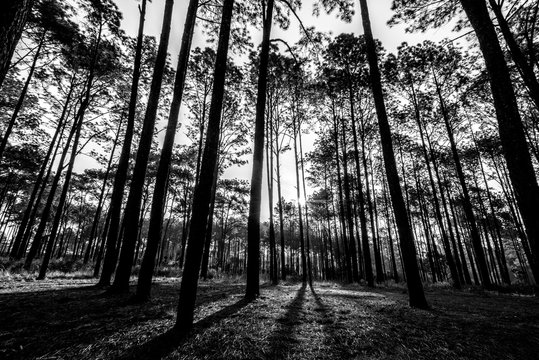 Silhouette of savanna forest at sunrise in Thung Sa Lang Luang, between Phitsanulok and Petchabun, Thailand. Black and white forest pattern background.