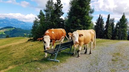 Kühe auf einem Berg in Tirol