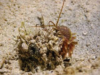 Tube Building Worm (Onuphidae)