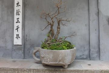 Bonsai Baum in Traditionellem  Topf vor grauer Wand in Hanoi Vietnam mit Asiatischen Schriftzeichen
