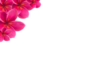 Foto op Canvas Frangipani plumeria pink flower with isolated background