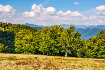 beech forest on grassy meadow in high mountains