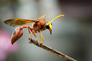 Image of potter wasp (Delta sp, Eumeninae) on dry branches. Insect Animal