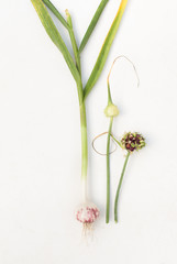 Garlic and garlic seeds on the plant on white