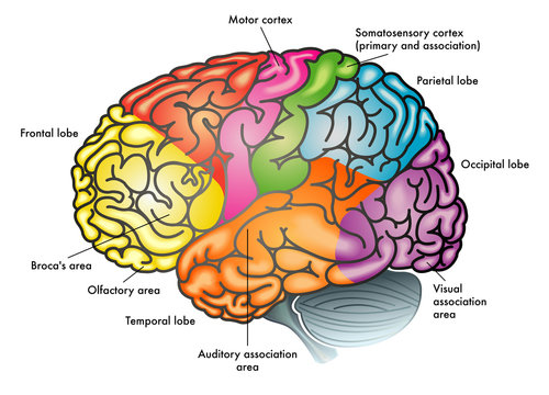 areas of human brain and functions