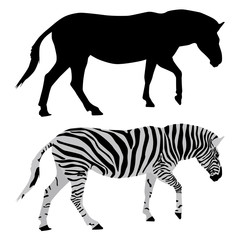 Zebra. Black and colored drawings