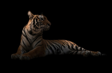 Photo sur Toile Panthère female bengal tiger in the dark