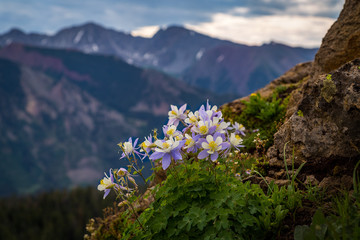 A patch of high country columbine