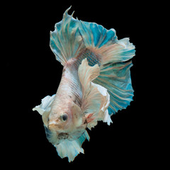 Acrylic Prints Fish betta fish