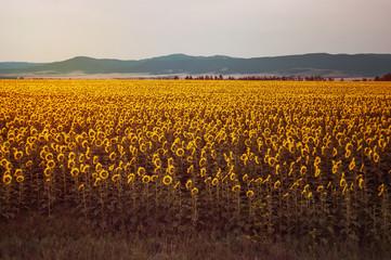 Beautiful field with yellow sunflowers