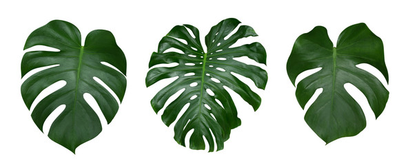Monstera plant leaves, the tropical evergreen vine isolated on white background, clipping path included Wall mural