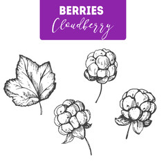 Cloudberry hand drawn vector illustration set. Engraved food image.