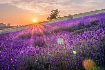 Printed kitchen splashbacks Eggplant Blooming lavender fields in Poland, beautfiul sunrise