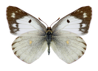 Butterfly Colias poliographus on a white background