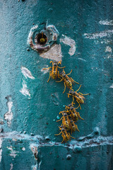 A row of a drying wet wasps