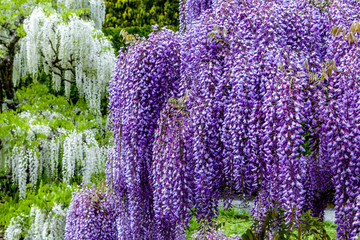 Blooming wisteria in garden, white and violet colour