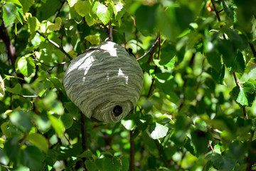 Bald Faced Hornet Blackjacket Hive