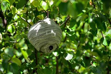 Bald Faced Hornet Blackjacket Hive