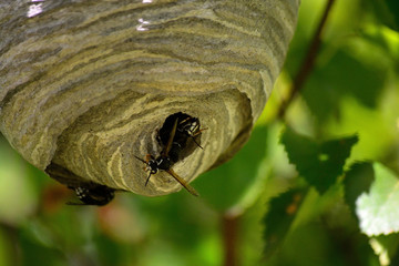 Bald Faced Hornet Blackjacket at a Hive Entrance Opening