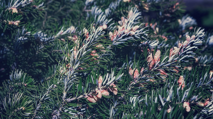 Background of Fir Branches With Cones