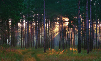 Sunrays In The Summer Forest