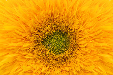Sunflower close-up, decorative homegrown  flower, nature background