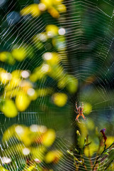 spider in the web on beautiful forest bokeh
