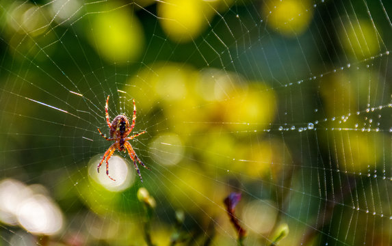 red spider in the web on beautiful foliage bokeh
