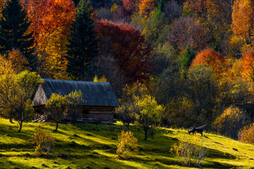 cow near woodshed in autumn forest