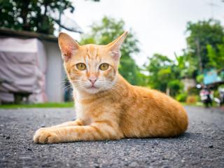Brown thai cat