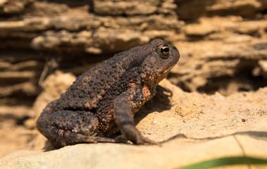 Große Erdkröte sitzt in der Sonne auf Sand vorm morschen Holz