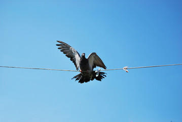 Pigeon domestic thoroughbred makes a landing on the clothesline