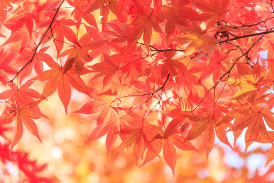 Autumn red maple leaves background