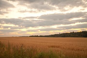 early morning sunrise wheat field