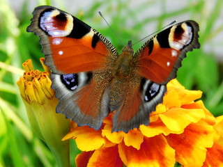 European Peacock butterfly on a marigold flower in a garden on a sunny day