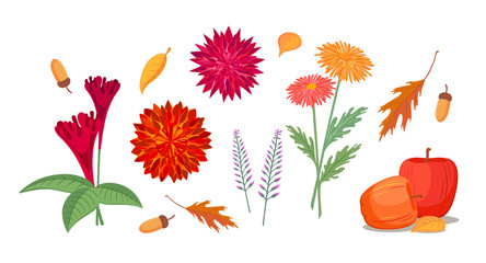 Graphic set with autumn flowers, plants, fruits. Woolflower, chrysanthemum, dahlia, heather, apples, oak leaves and acorns, vector illustration, isolated on background.