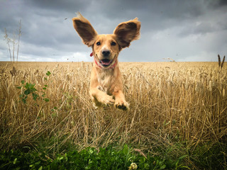 Golden Cocker spaniel dog running through a field of wheat.